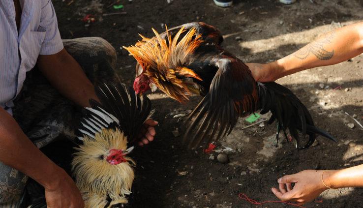 Permainan Taruhan dan juga Judi Sabung Ayam di S128